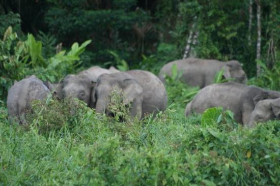 Sandakan, Malaysia: Pigmy elephants