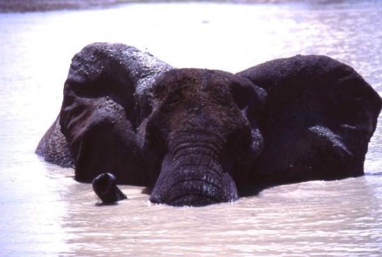 Waza National Park, แคเมอรูน: elefante al parco di Wasa Cameroun