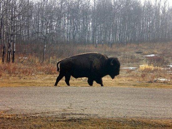 Edmonton, Canada: Büffel in sicht...