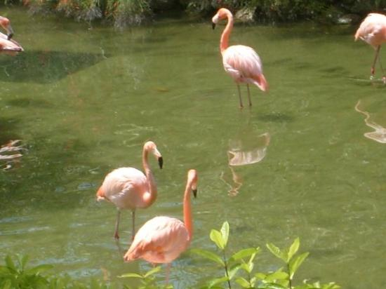 Punta Cana, Den Dominikanske Republik: happy, real flamingoes in one of the semi-enclosed gardens