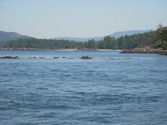 ไฟรเดย์ฮาร์เบอร์, วอชิงตัน: Sea Lions laying in the sun north of Friday Harbor, WA