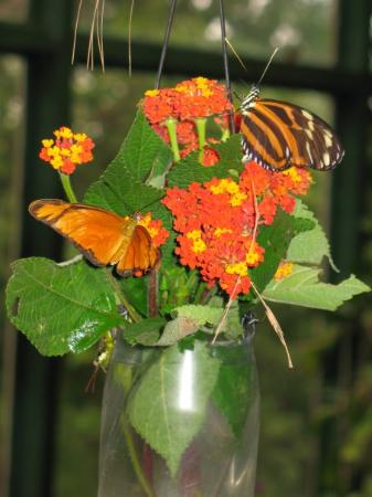 Butterflies that I released at the butterfly gardens near Monteverde