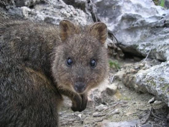 Rottnest Island, ออสเตรเลีย: Das Quokka