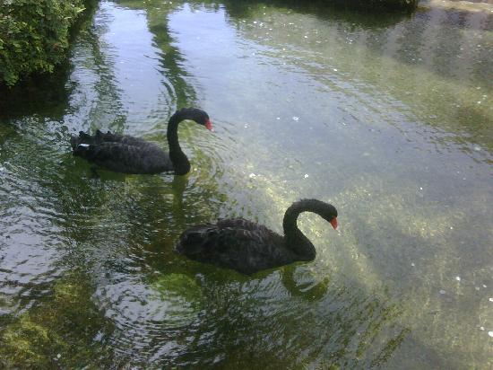 Hyatt Regency Aruba Resort and Casino: Black Swans at the Hyatt