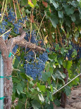Winemaker's Porch Bed & Breakfast: Grapes in the vineyard