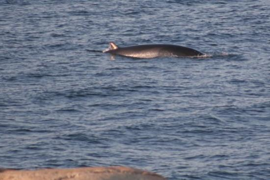 Les Escoumins, แคนาดา: The water is deep and the whales - minke (here), beluga, fin, sperm, humpack and blue - can be s