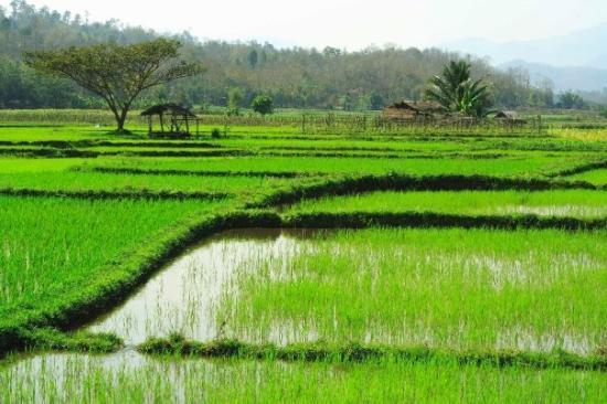 เมืองลำปาง, ไทย: Rice
