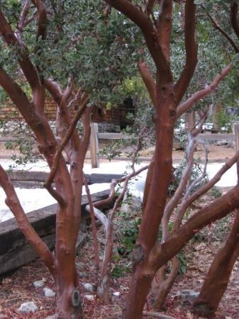 Idyllwild, แคลิฟอร์เนีย: Manzanita Tree