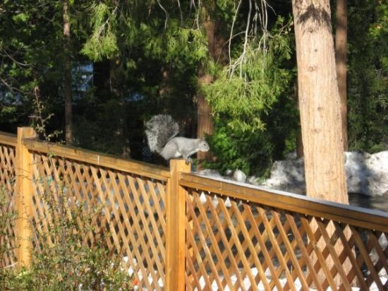 Idyllwild, แคลิฟอร์เนีย: CA Gray Squirrel checking out the fence.