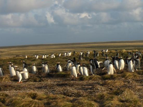 สแตนลีย์, หมู่เกาะฟอล์กแลนด์: yay penguins!