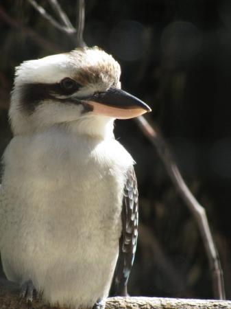 Mosman, Australia: Kookabura sits on the old gum tree..