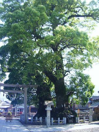 Owase Shrine: 尾鷲神社大楠の木