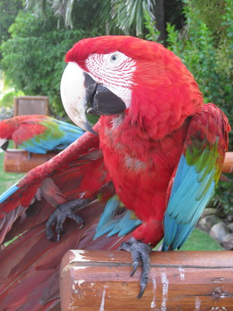 Excellence Punta Cana: One of the parrots.