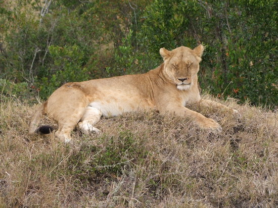 Tanzanie : Lioness chilling out at Kliens