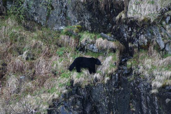 A Swan Nest Inn: Black Bear in Kenai Fjords
