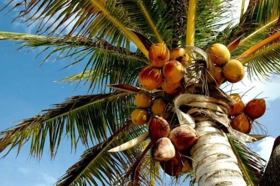Holbox Island, เม็กซิโก: coconuts anyone?