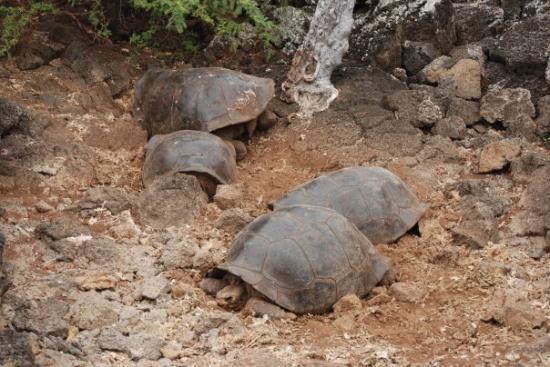 ซันตาครูซ, เอกวาดอร์: tortuguitas en la  Estación Charles Darwin