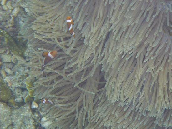 Coral Redang Island Resort: シュノーケリングでニモ(カクレクマノミ)にも会える