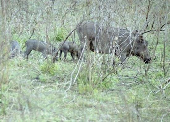 Nairobi National Park: Warthogs