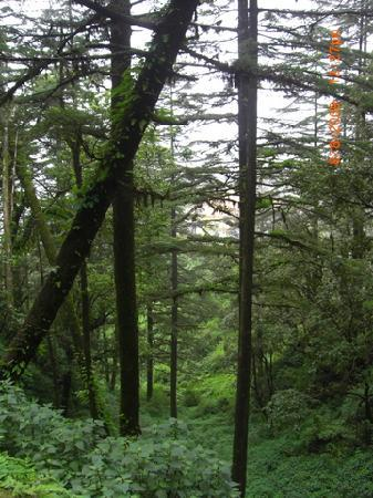 Mussoorie, India: Pine Forests !!