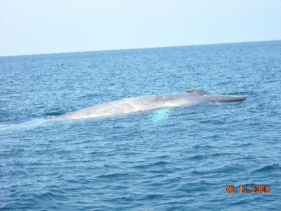 Dana Point, Kalifornia: Blue Whale
