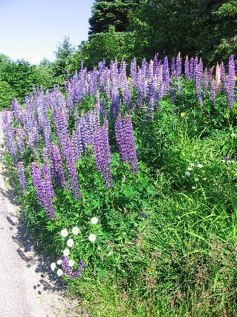 Pier One Vacation Rentals: Lupines