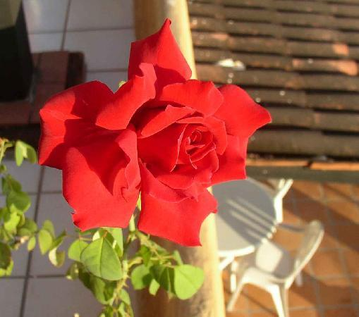 Los Tules Resort: The rose on our patio.