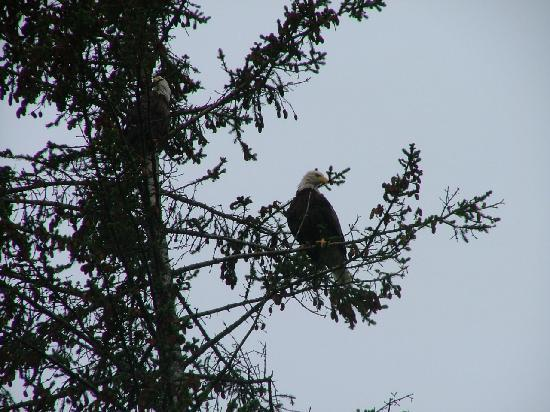 Alaska Saltwater Lodge: Eagles in Tree by Cottage