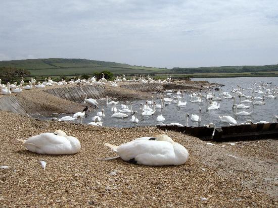 Abbotsbury Swannery: Nesting swans at Abbotsbury