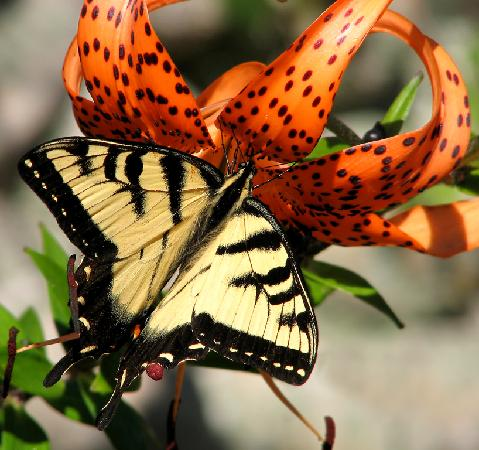 The Island Home Inn: Swallowtail Butterfly in the garden at The Island Home