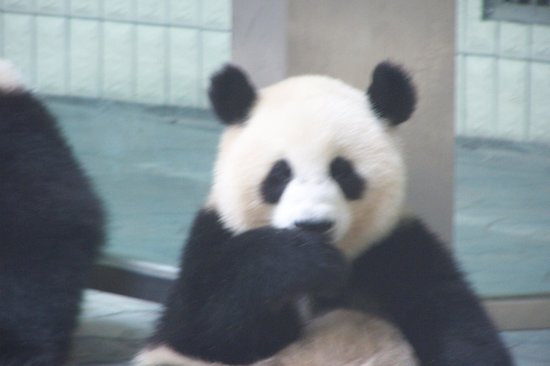 Giant Panda Breeding Research Base (Xiongmao Jidi): Is he looking at me or am I looking at him?