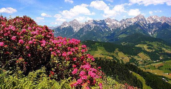 Dienten am Hochkönig, النمسا: Almrosen in der Region Hochkönig