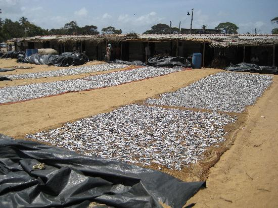 Negombo, Sri Lanka: Drying fish at the fish market