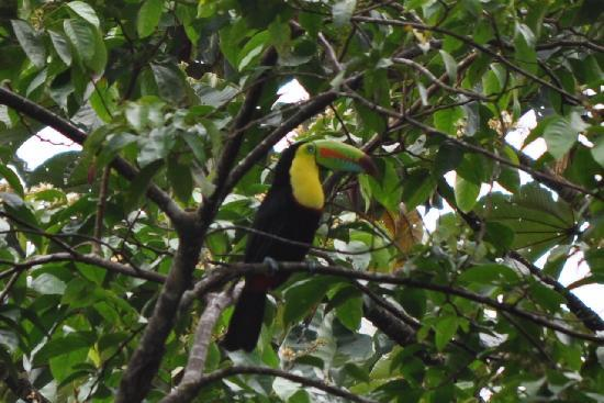 Arenal Observatory Lodge & Spa: Toucan we saw on the grounds.