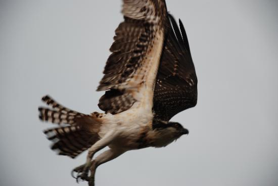Best Western Salmon Arm Inn: Osprey from 10 feet away