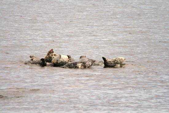 Lindisfarne Hotel: Seals sunning themselves off the beach