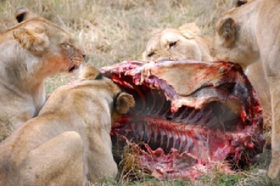 Port Lympne Reserve : Lions having lunch