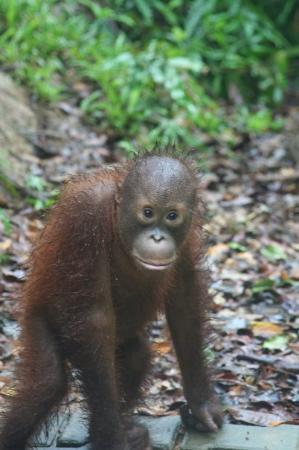 แชงกรีลา ราซา เรีย รีสอร์ท แอนด์ สปา: Gorgeous orphan orangutan at Shangri La's Rasa Ria Resort & Spa.