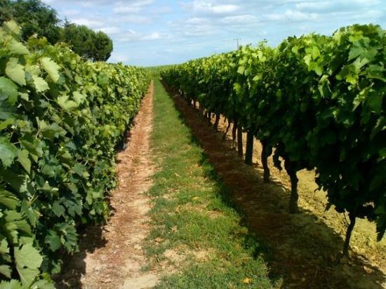 Marennes, France: viñedos en la region de Cognac