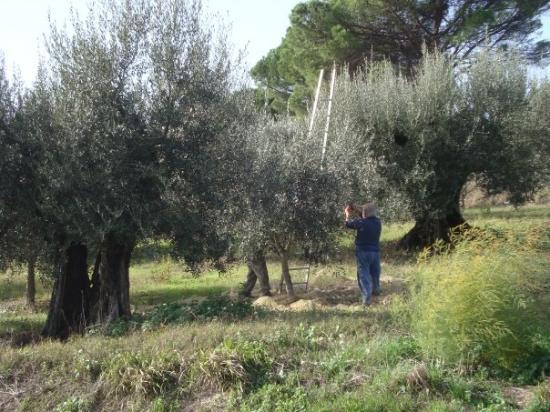 เปรูเกีย, อิตาลี: OLIVE TREES/ROME