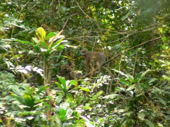 ลีเบลอวิลล์, กาบอง: Mandrils