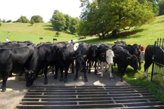 Dyrham Park: Cows