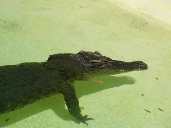 Alice Springs Reptile Centre: Terry the salt water croc