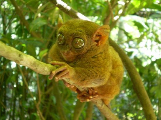 Philippine Tarsier and Wildlife Sanctuary: Tarsier