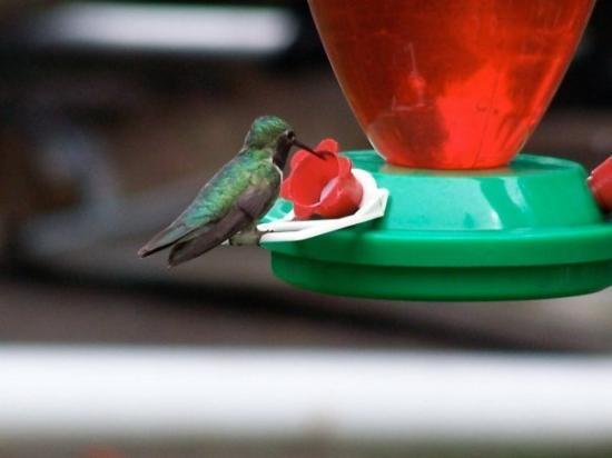 South Fork, CO: more hummingbirds...