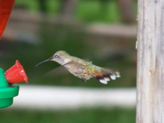 South Fork, CO: I've never seen so many hummingbirds in my life!