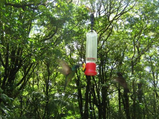 Monteverde Cloud Forest Reserve, คอสตาริกา: Monteverde National Park: Hummingbirds (Kolibris)
