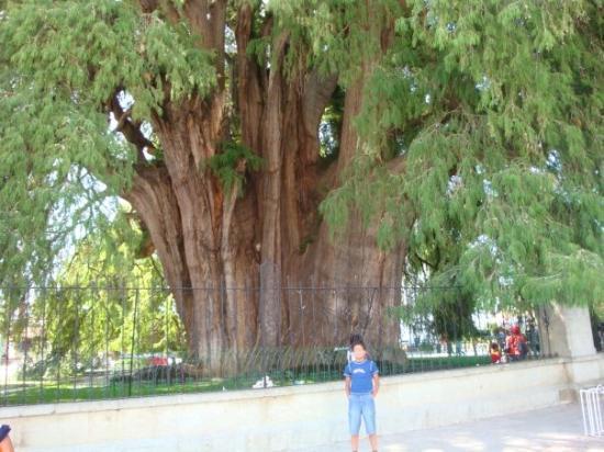 Tule Tree: El Arbol del Tule