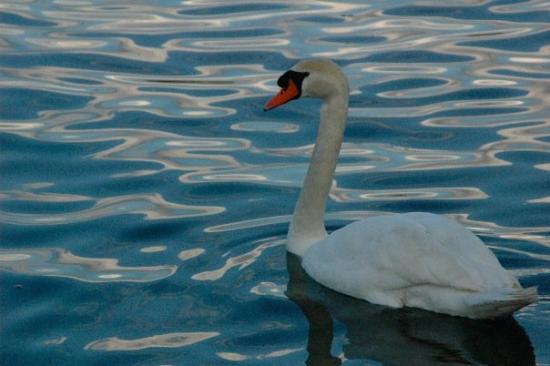 Lake Geneva: swan!
