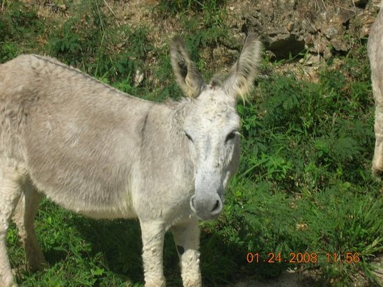 Philipsburg, St-Martin/St Maarten : Wild burros live here. DO NOT PET! They were brought here years ago to help carry equipment and